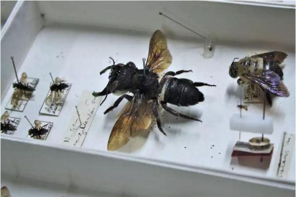 Гигантская пчела Уоллеса