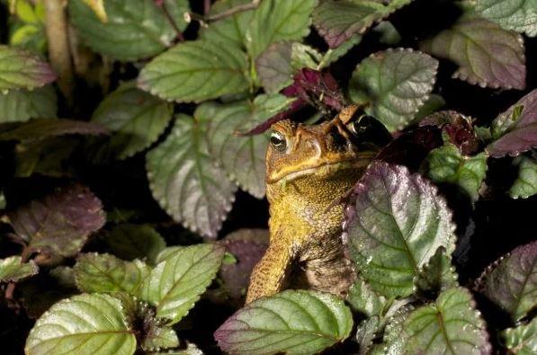 Молодая тростниковая жаба