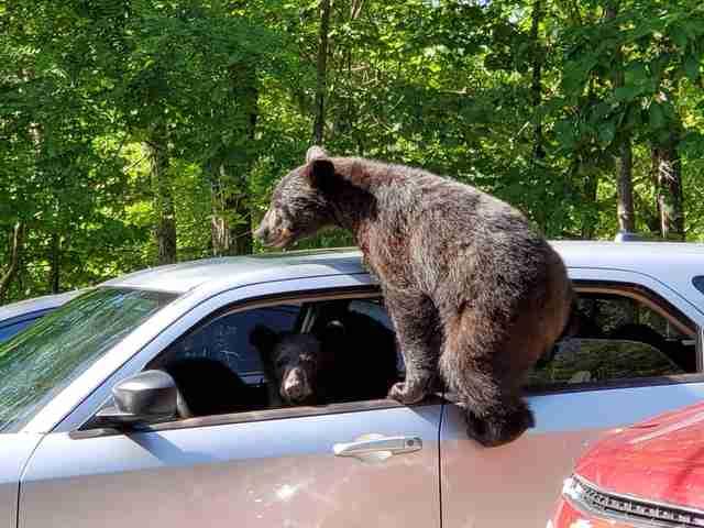 Медведь залезает в машину