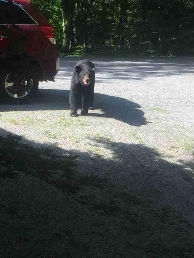 Медведица охраняет медвежат в машине