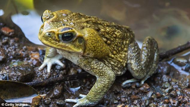 Тростниковая жаба (Rhinella marina)