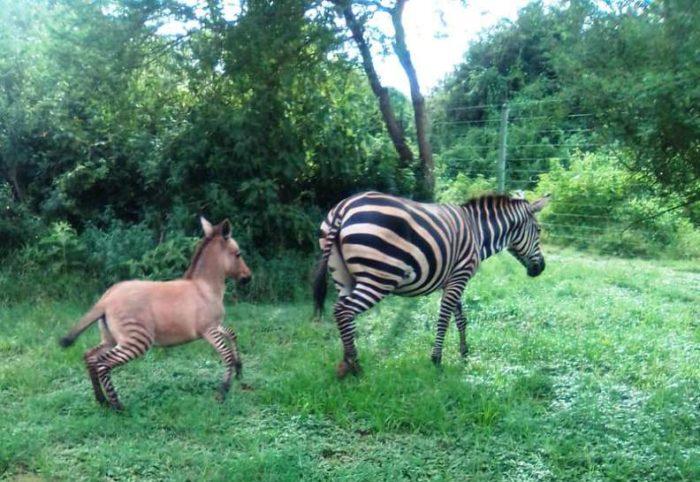 Мама зебра и Зонки