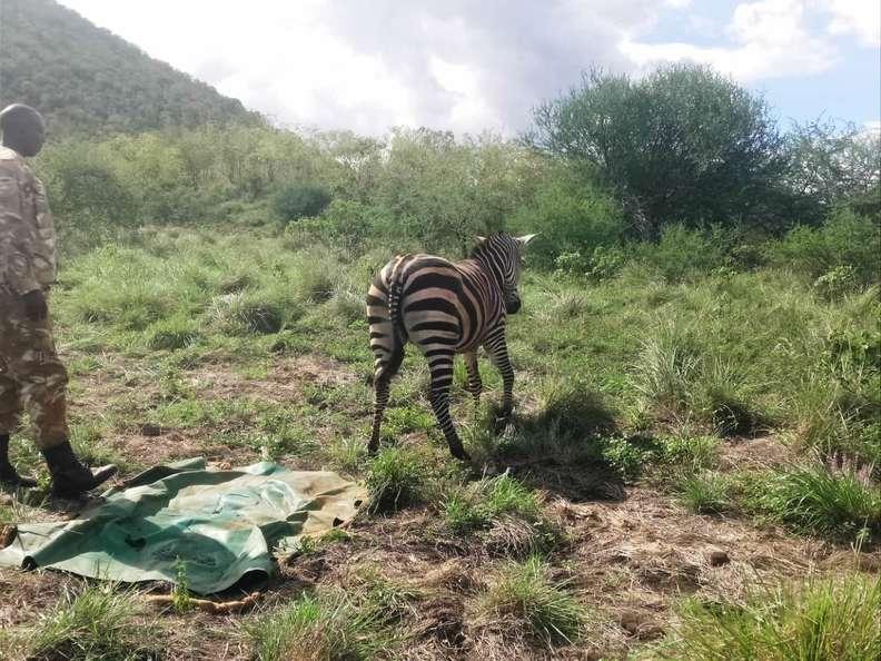 Зебра в заповеднике